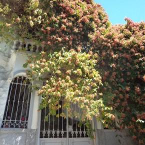 Quisqualis indica pianta