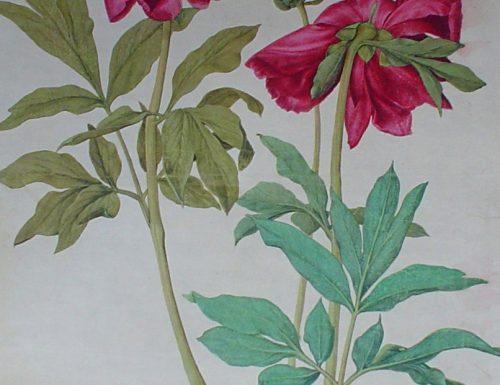 Albrecht Dürer – Peonies red flowers