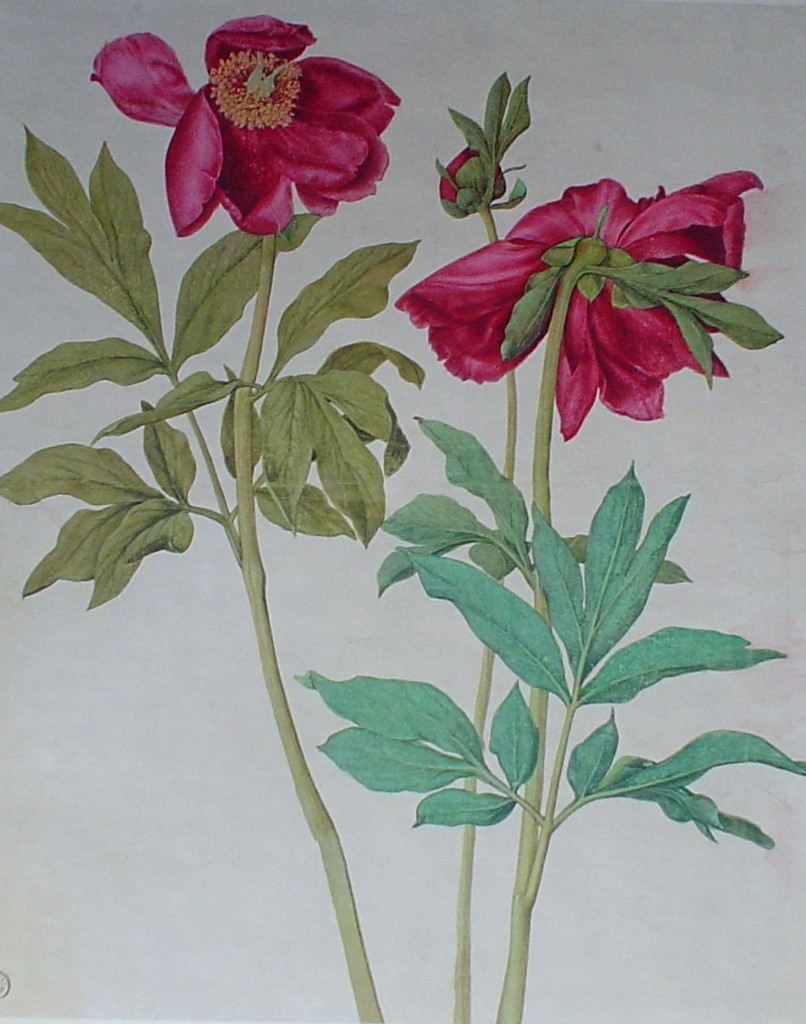 Peonies, Red Flowers - Albrecht Dürer