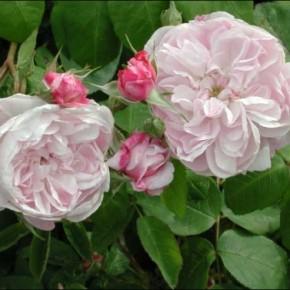 """rosa """"Fantin Latour"""""""