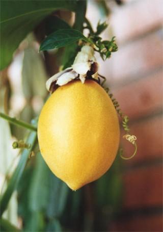 Frutto della passiflora laurifolia (water lemon)