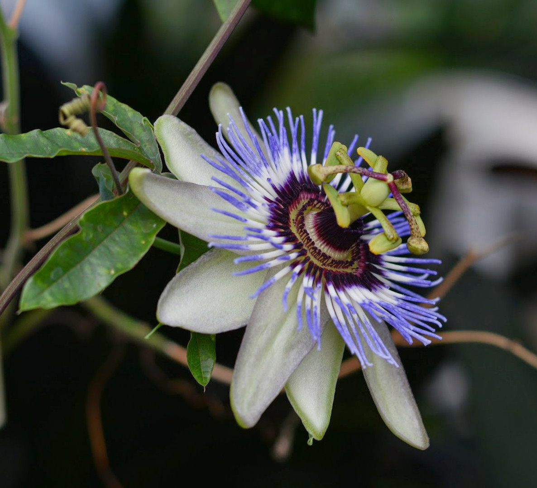 Passiflora: storia, simbologia e linguaggio dei fiori
