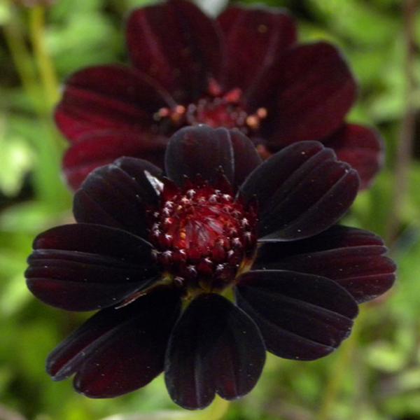 Cosmos atrosanguineus (Fiore di cioccolato): linguaggio dei fiori e curiosità
