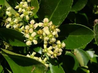 Euonymus japonicus fiore