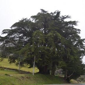 cipresso di Monterey