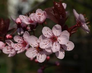 Fiore di amolo