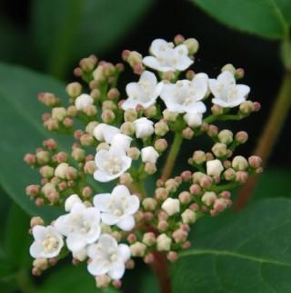 Fiore di lentaggine
