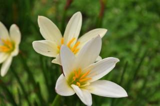 Giglio della pioggia - Zephyranthes candida