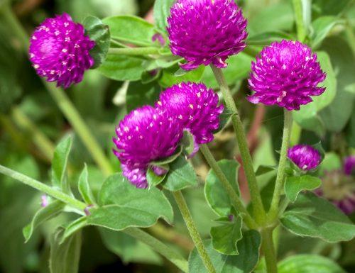 Gomphrena – Falso trifoglio, linguaggio dei fiori