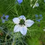 Nigella sativa: descrizione, storia, curiosità e linguaggio dei fiori
