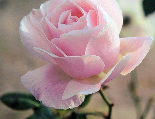 Rosa: mito, storia e linguaggio dei fiori