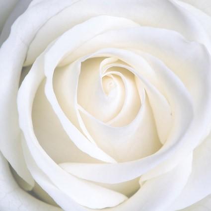 La rosa bianca di Attilio Bertolucci