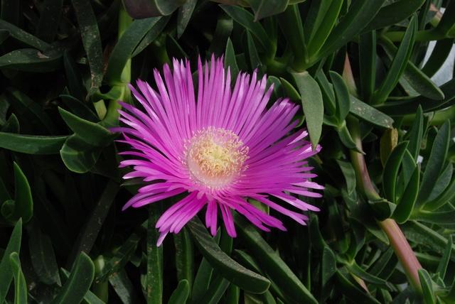 Carpobrotus – Fico degli ottentotti, linguaggio dei fiori