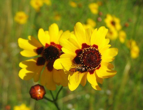 Piante tintorie: Coreopsis tinctoria