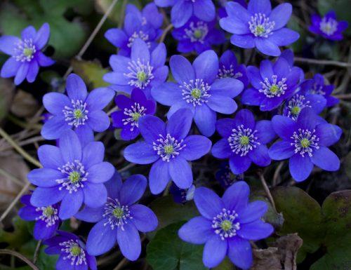Hepatica nobilis: descrizione, curiosità e linguaggio dei fiori