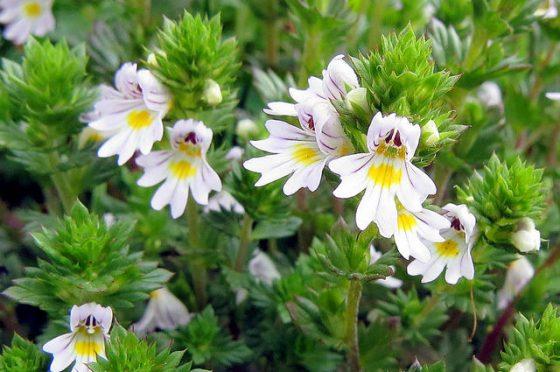 Eufrasia: Descrizione, mitologia e linguaggio dei fiori